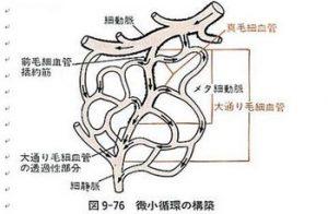 メリスロンの作用点(毛細血管前括約筋)