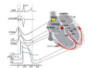 心臓の活動電位と刺激の伝わり方